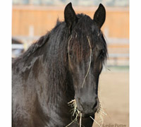Friesian mare eating hay