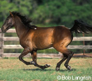 The Florida Cracker horse is listed as critical by the ALBC