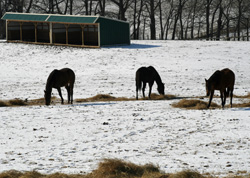 Geldings in the snow at the KyEHC
