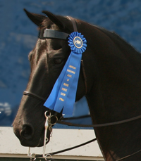 Blue ribbon show horse