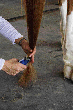 Bang a Horse Tail Step 2