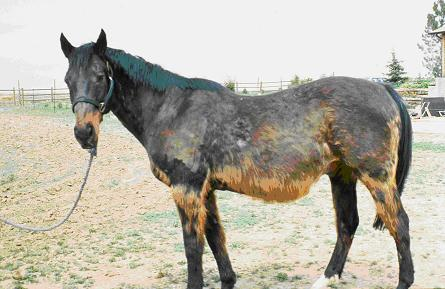 Cushing's disease causes muscle wasting and coat shedding issues