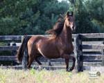 American Saddlebred Wallpapers