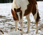 Pinto Horse Wallpapers
