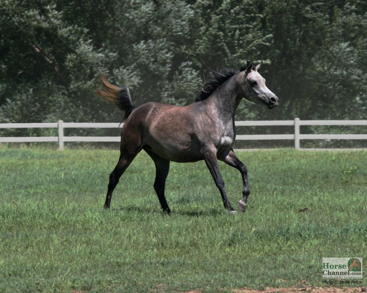 Arabian Horse Screensaver And Desktop Wallpapers Horse Illustrated
