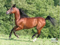 Arabian Horse Wallpaper 4