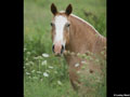 Draft Horse Wallpaper 1