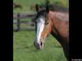 Draft Horse Wallpaper 2