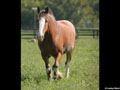 Draft Horse Wallpaper 3
