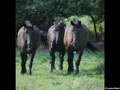 Draft Horse Wallpaper 5