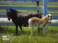 Miniature Horse Wallpaper 1