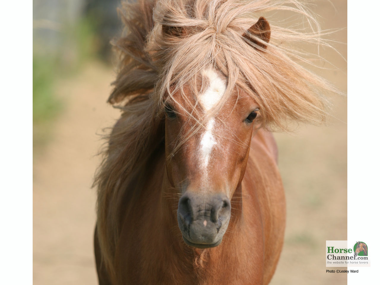 Miniature Horse Desktop Wallpapers Horse Illustrated