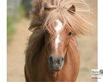 Mini Horse Wallpapers