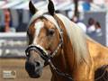 Palomino Horse Wallpaper 2