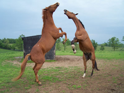 Two rearing horses