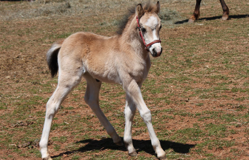 Welsh Pony Foal