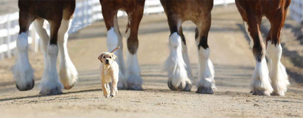 Clydesdales and Puppy