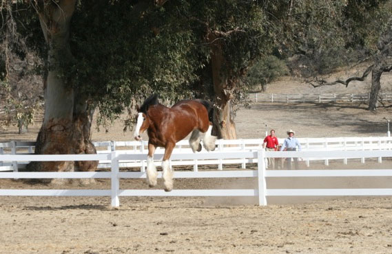 Clydesdale Jump