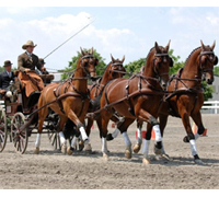 The 2008 Four-in-Hand Championships is being held in Beesd, The Netherlands