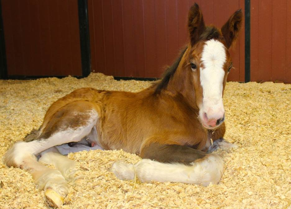 Moose the Clydesdale