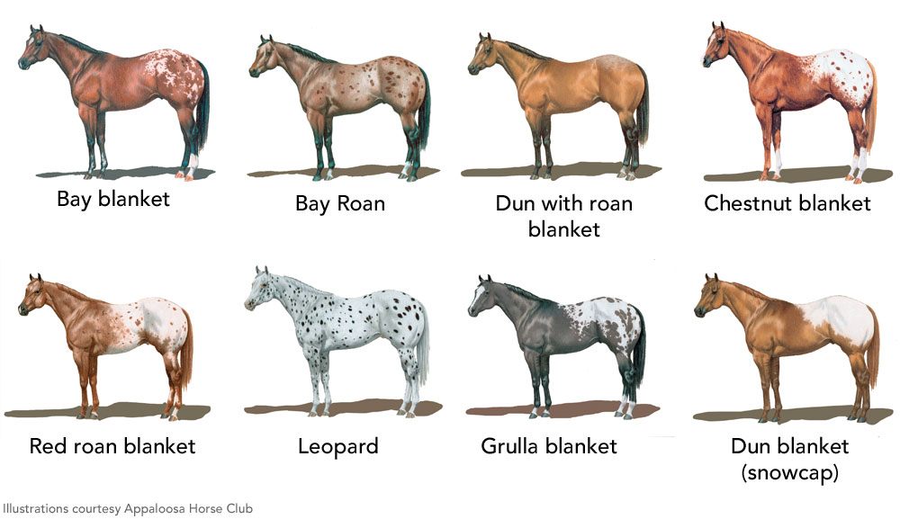 Appaloosa Coat Patterns