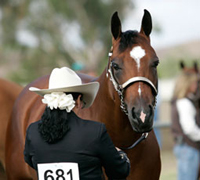 The All-American Quarter Horse Congress is being held in Beulah Park, Ohio