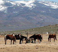 Mustangs at a BLM holding facility