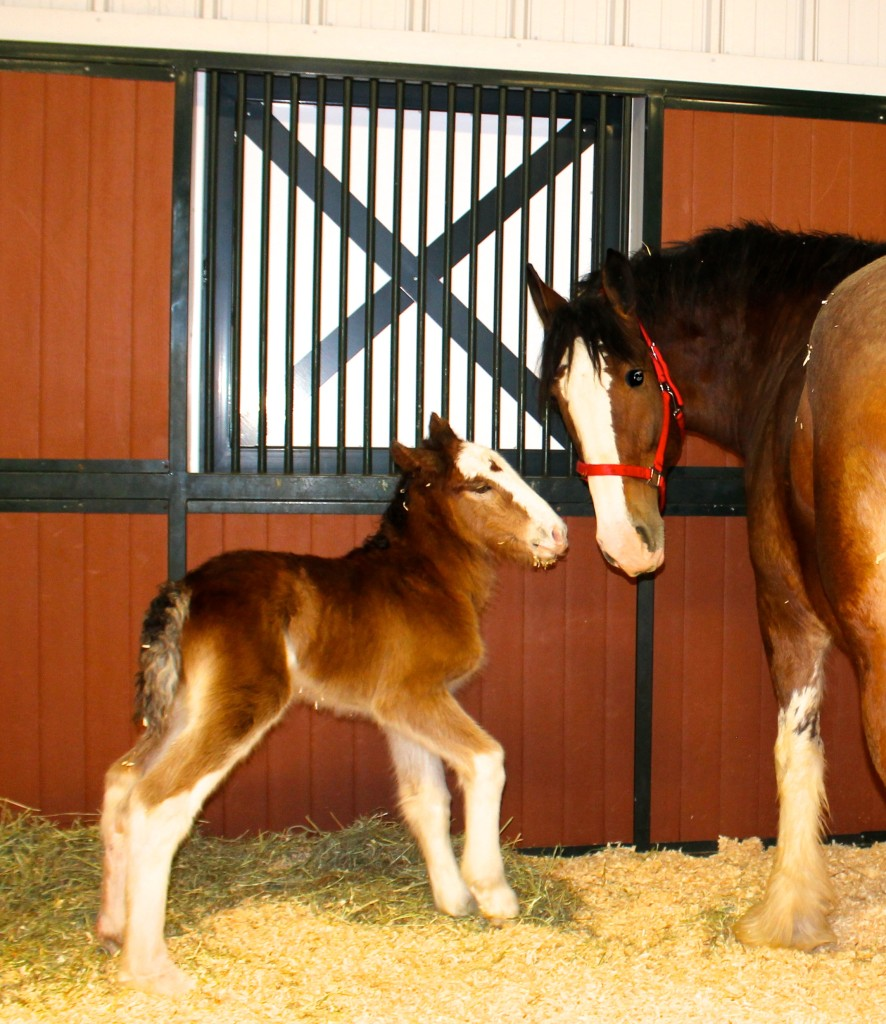 Mac the Budweiser Clydesdale Colt