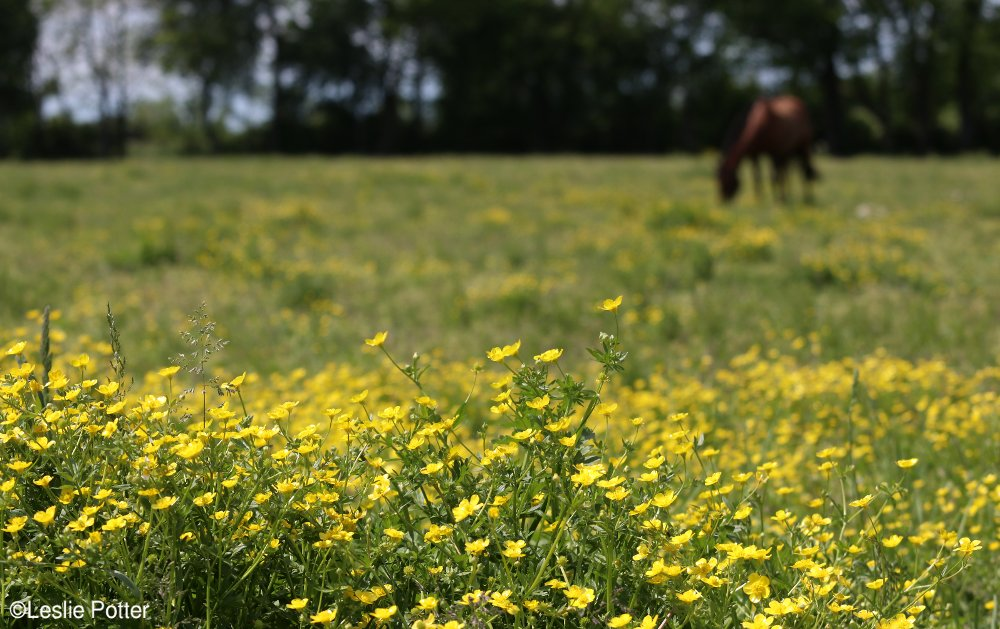 Horse in Field of Buttercups
