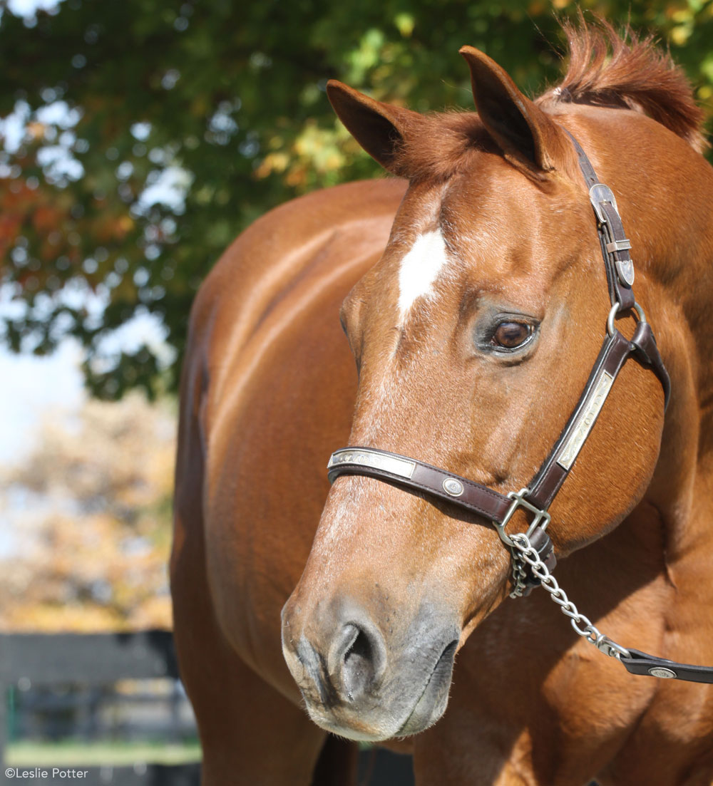 Chestnut Quarter Horse