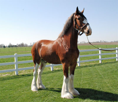 Mark the Clydesdale