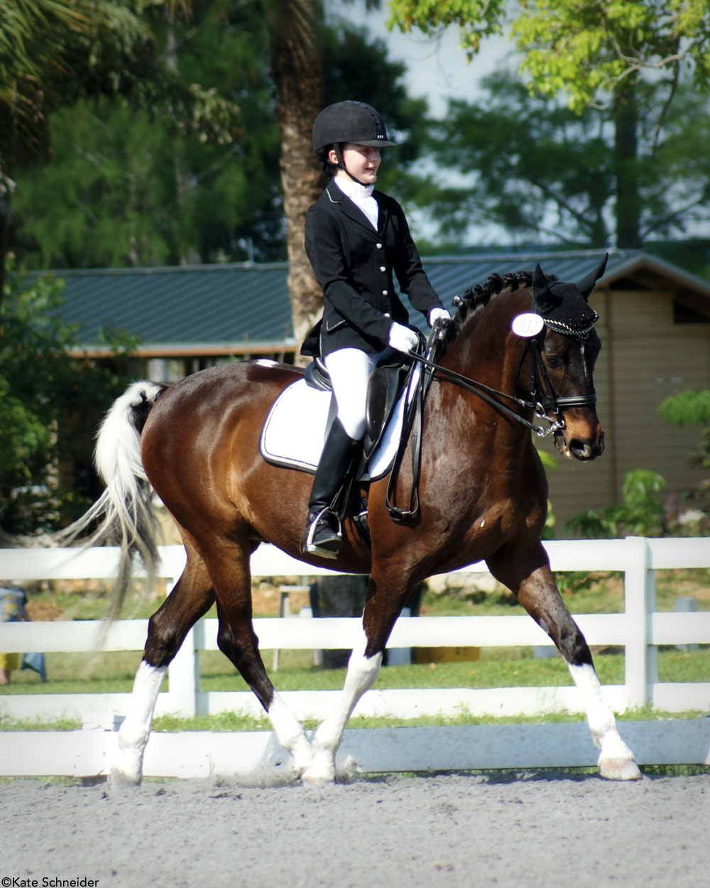Curly Horse Dressage