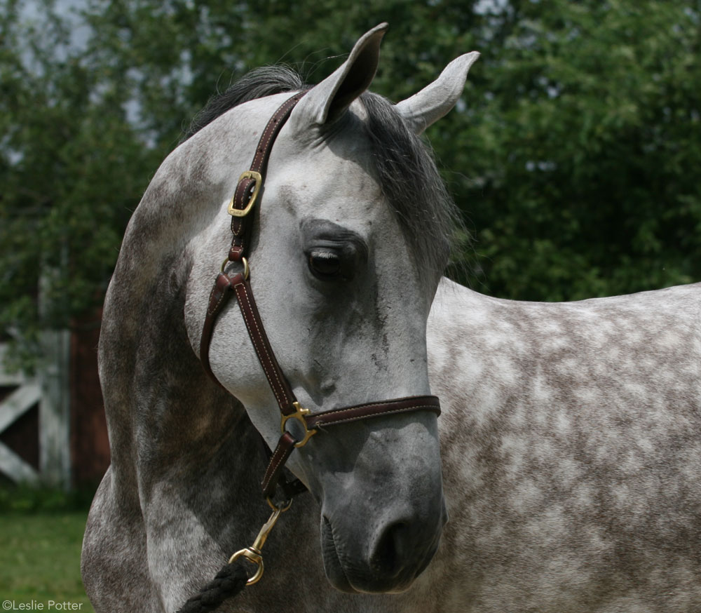 10 Fun Facts About Gray Horses – Horse Illustrated