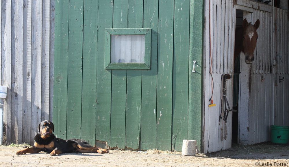 Dog in Front of Barn