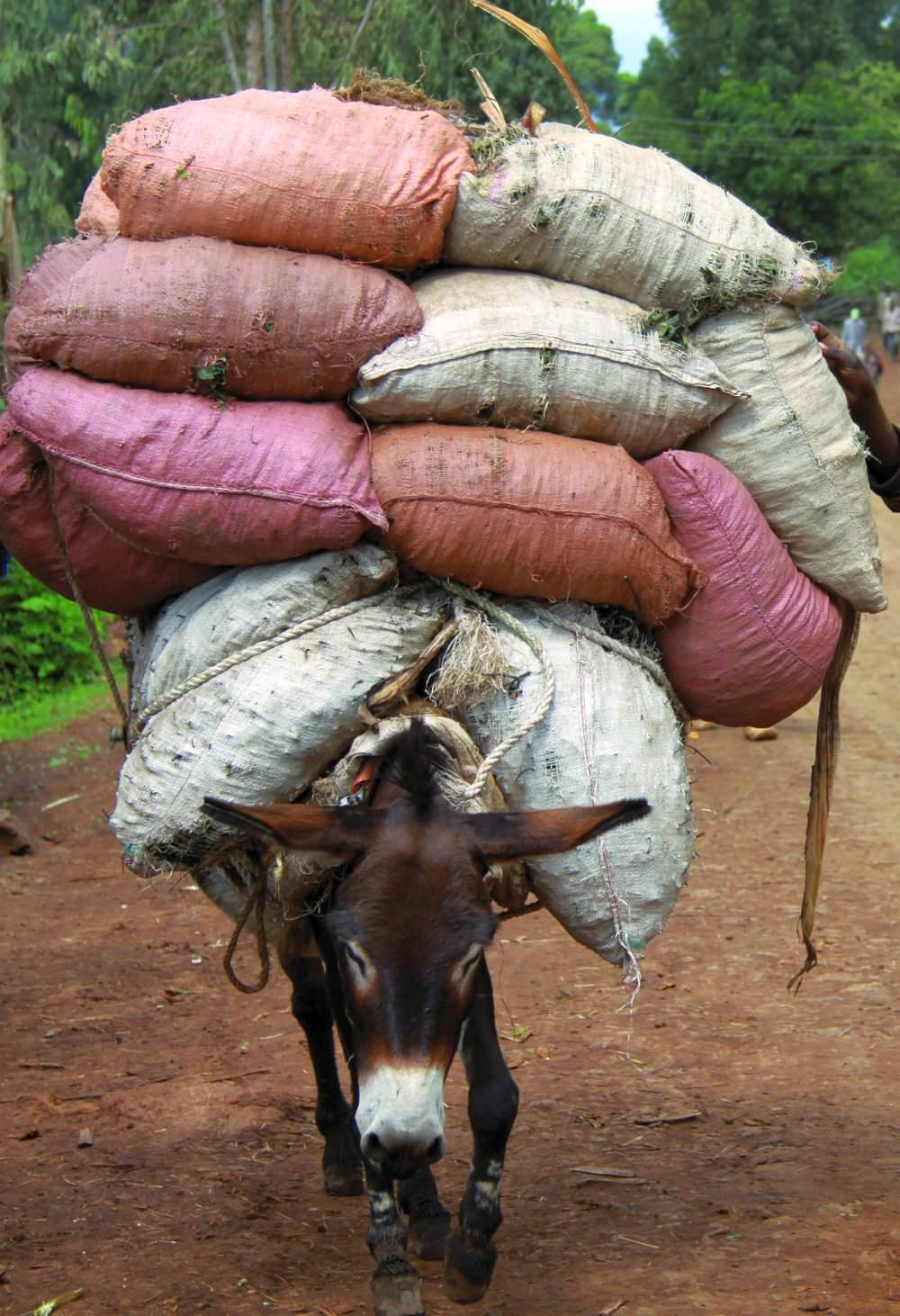 Working Donkey in Ethiopia