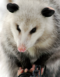 Possums are a vector for EPM.