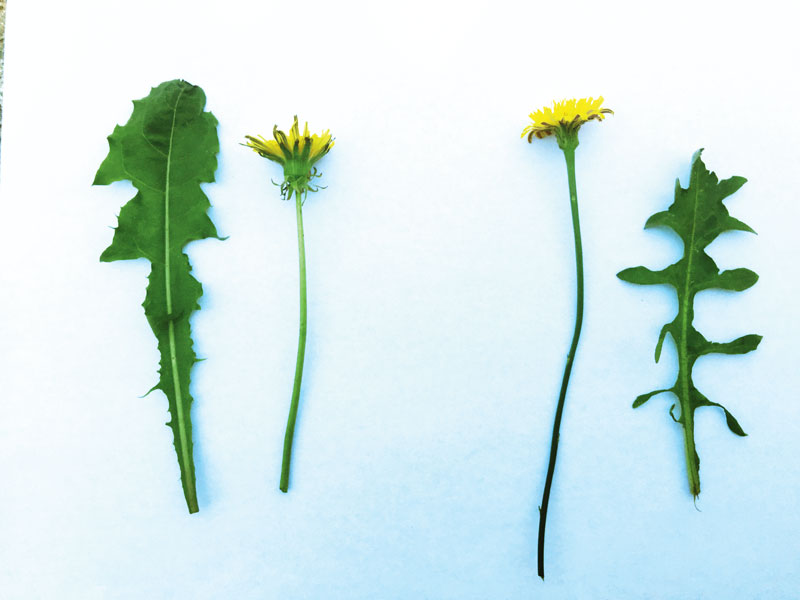 Identify flatweed and dandelion