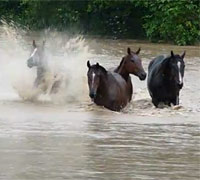 Horses in the Queensland, Australia flood