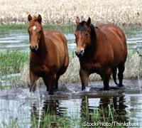 Horses in a flood