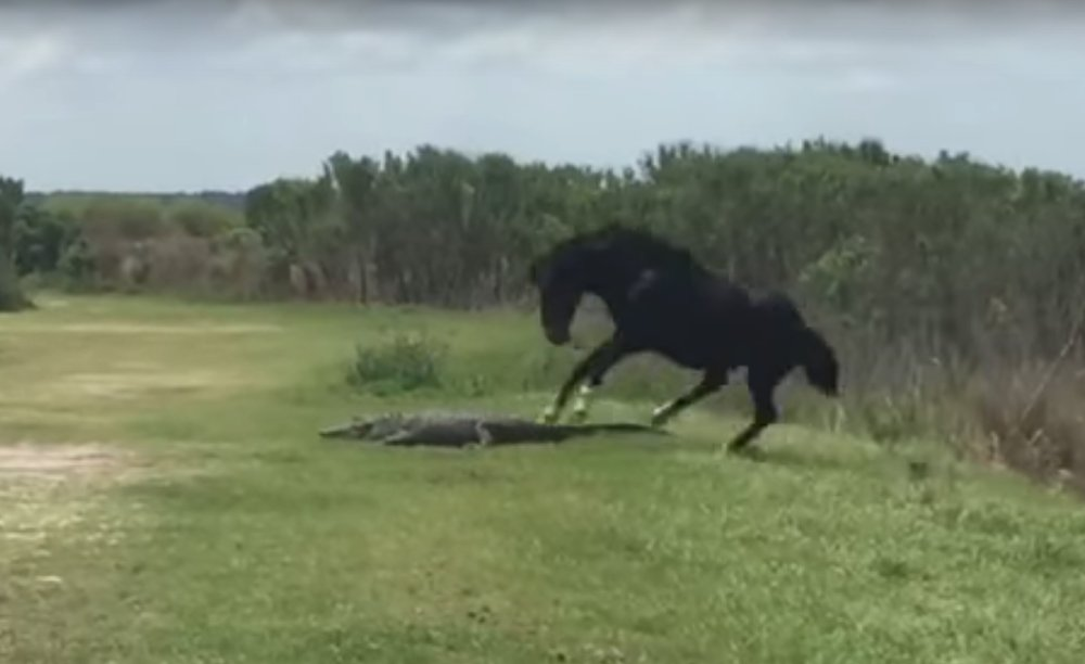 Horse and Alligator