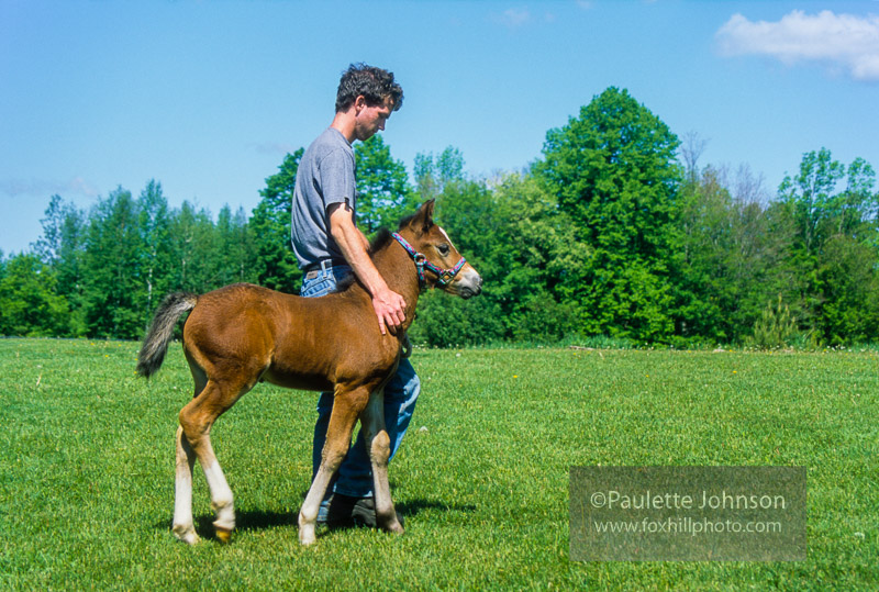 Halter Training a Foal