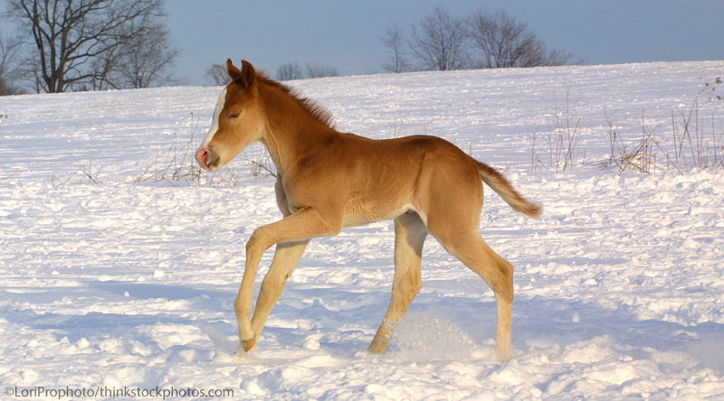 Foal in winter