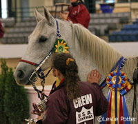 Endurance horse Golden Lightning