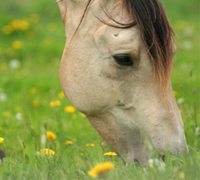 Getting the rabies vaccine is important for prevention in any horse