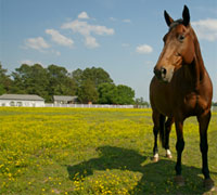Horse in a field of buttercups