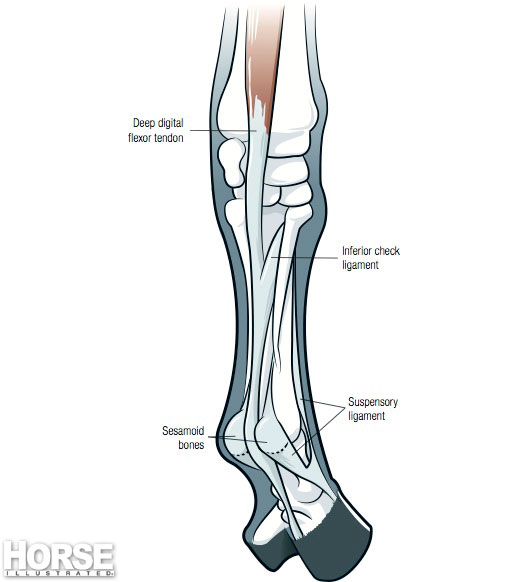 A diagram of the internal structures of the horse's lower leg