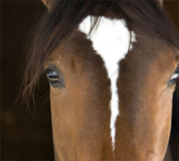An equine influenza outbreak raised concern in Australia and New Zealand
