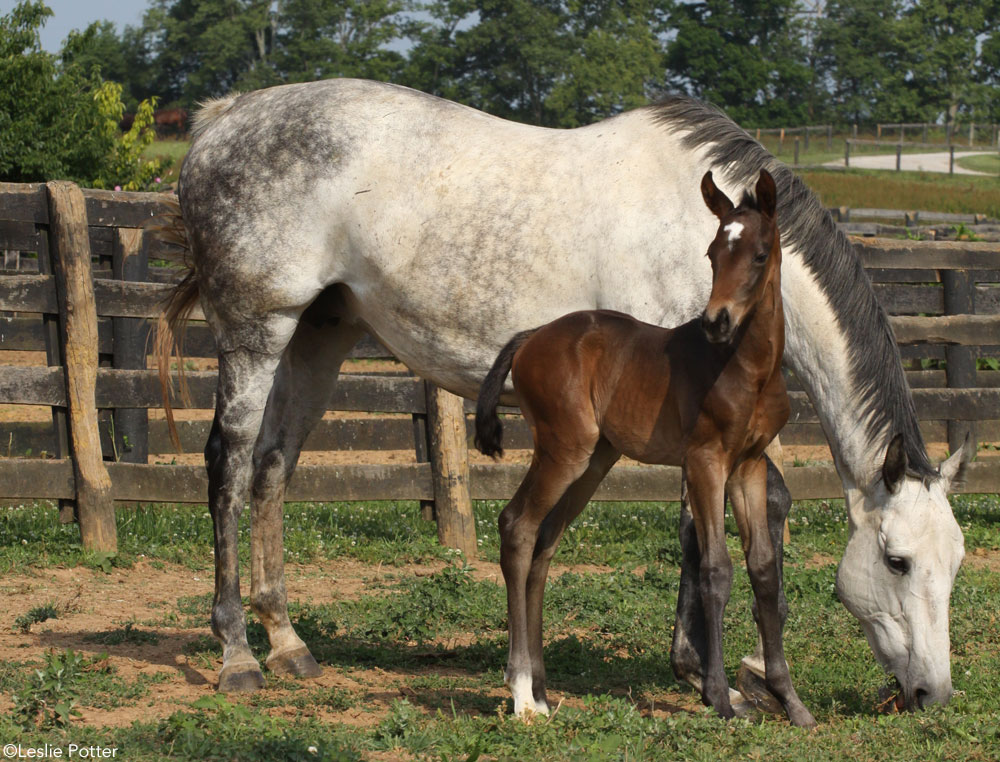 Gray Mare with Bay Foal