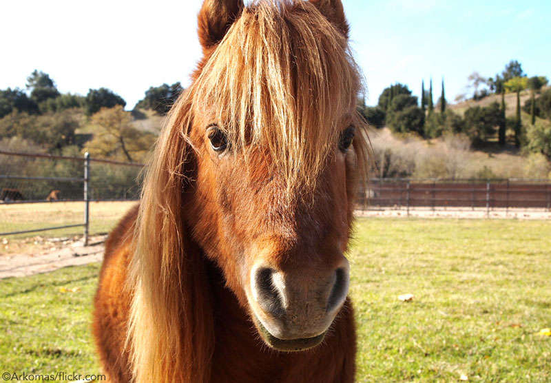 Chestnut Mini Horse