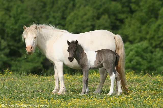Mini Mare and Foal